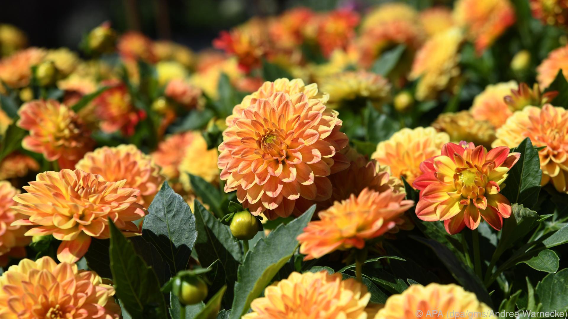 So kann man die Blüte von Dahlien verlängern
