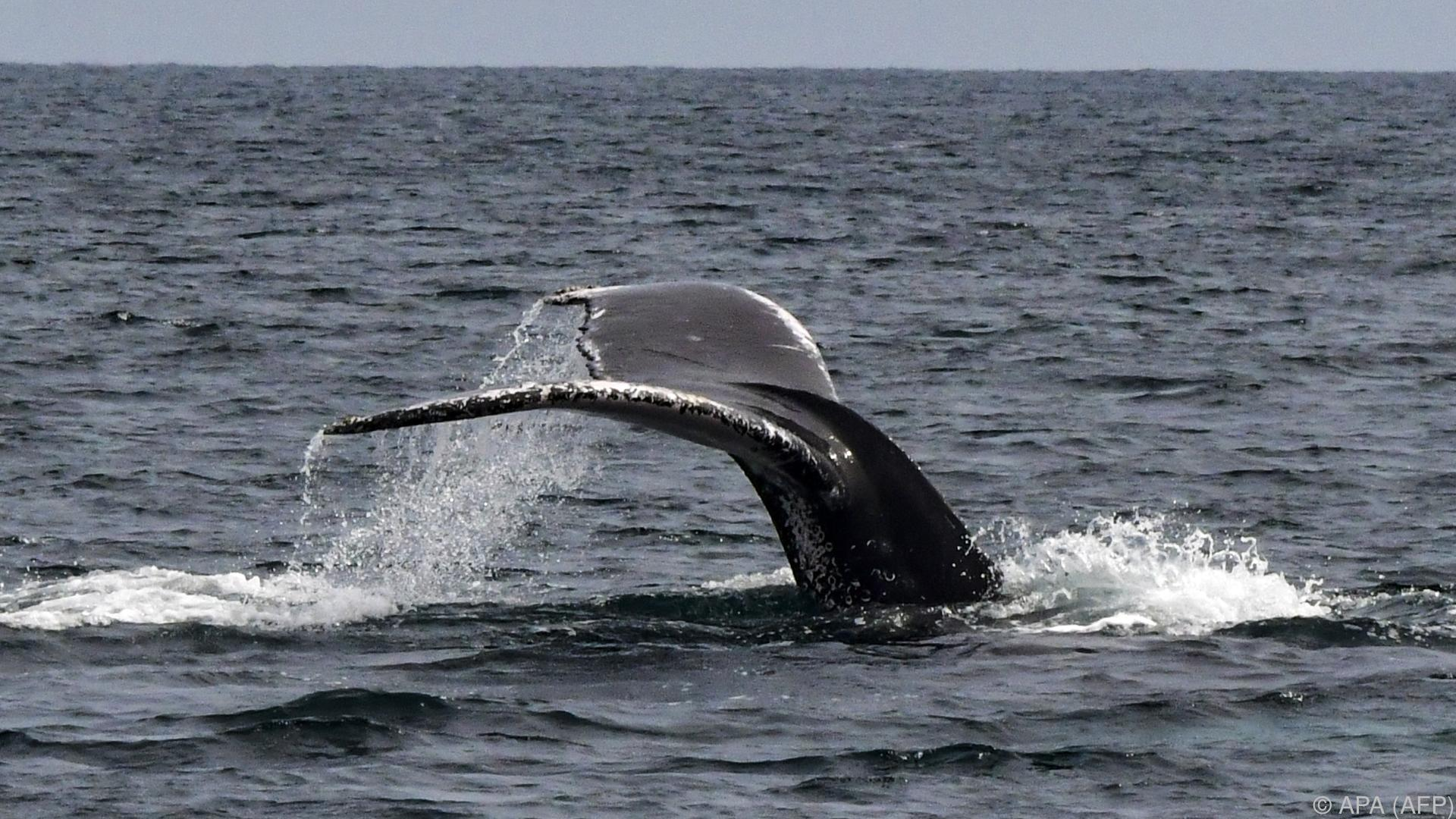 Netze aus Blasen: Neue Videoaufnahmen zeigen Buckelwale bei der Jagd